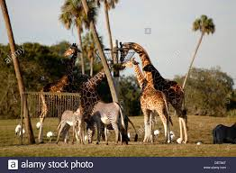 african animals feeding at busch gardens theme park tampa florida