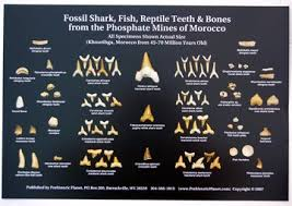 Prehistoric Planet Store Fossil Shark Teeth Fish Reptile Bones From Morocco Poster