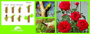 Los Secretos De La Poda De Los Rosales  PlantasCuidados De Los Rosales