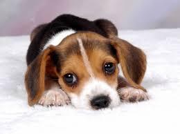 cute beagle puppies. Wonderful Puppies Cute Beagle Puppy  Dogs U0026 Animals Background Wallpapers On Desktop Nexus  Image 1918162 In Puppies P