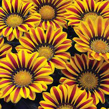 Amazon.com : Exotic Gazania Flower Seeds - 100+ Seeds to Grow - Made in  USA, Ships from Iowa - Great with Marigold or Roses. Gazinga Seeds : Garden  & Outdoor