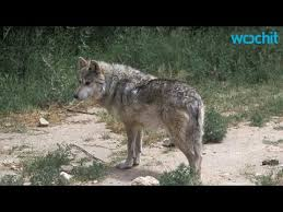gray wolf pack. Contemporary Pack Gray Wolf Pack Seen In California To 0