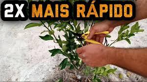É realizada em plantas jovens, nos primeiros dois anos, muito importante para as mudas do tipo palito&n. Como Fazer A Poda Do Pe De Laranja Limao Para Produzir 2x Mais Rapido Laranjeira Limoeiro Youtube