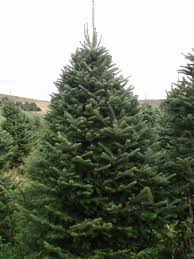 Why Buy a Real Tree? Why buy a real Christmas tree?