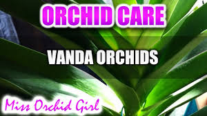 orchid care how to care for vanda orchids new plete tutorial in description you