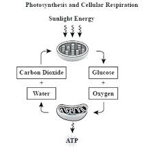 Venn Diagram Photosynthesis And Cellular Respiration Cellular Respiration Vs Photosynthesis Chart Diagram Clicktips Info