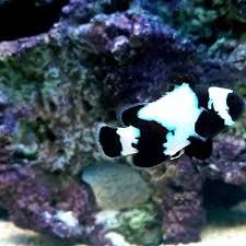 black phantom clownfish. Delighful Clownfish For Black Phantom Clownfish