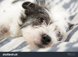 black and white terrier mix.  Terrier Black And White Terrier Mix Dog Relaxing On Owneru0027s Bed With And Shutterstock