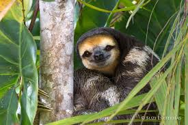 while tourists flock in their thousands to countries like costa rica which has a primary forest cover of only 3 5 to see sloths and other tropical