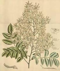 Sophora japonica Japanese Pagoda Tree, Scholar Tree PFAF Plant ...
