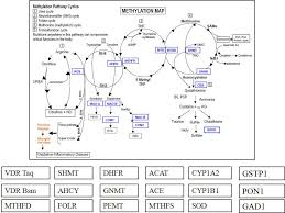 Methylation Pathways Map Detailed Description Of Each