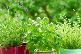 herb garden pruning 101 your hands on