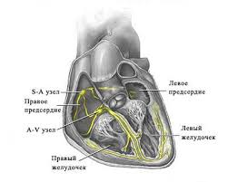 Реферат Сердце  8326501 jpeg