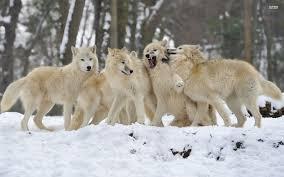 gray wolf pack playing. Beautiful Playing Wolfpack347421920x1200 For Gray Wolf Pack Playing 1