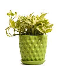Superior NG  Indoor Plant White Pothos Green Ceramic Pot