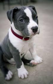 terrier pitbull puppies. Interesting Puppies Cute Grey And White Pitbull Puppy And Terrier Pitbull Puppies I