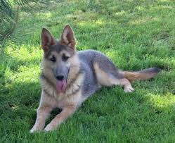 black german shepherd puppies with blue eyes.  Shepherd Blue German Shepherds For Black Shepherd Puppies With Eyes G