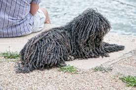 Hungarian Puli Dog By The River Danube ...