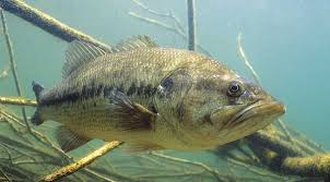 Types Of Bass Fish Chart Know How To Identify Your Bass Pics