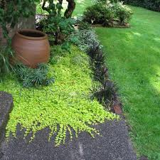 Small Picture in dry shade Golden creeping Jenny with spiky black mondo grass