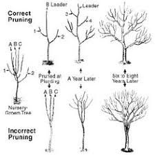 Best 25 Apple Tree Pruning Ideas On Pinterest  Pruning Fruit Fruit Tree Shapes