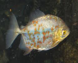 Myloplus rubripinnis