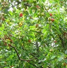 34 Best Long Island Seashore Trees And Shrubs Images On Pinterest Fruit Tree Hedgerow