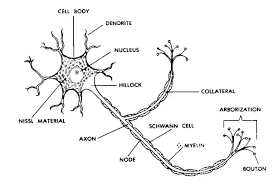 What Is The Structure Of A Nerve Cell Quora