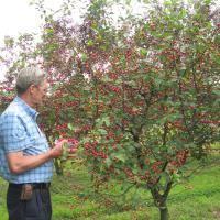 Dwarf Fruit Trees From Stark Brou0027s  Dwarf Fruit Trees For Sale Full Size Fruit Trees For Sale