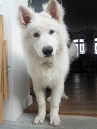 white german shepherd malamute mix. Let Me Present To You My Friends White German Shepard With Shepherd Malamute Mix