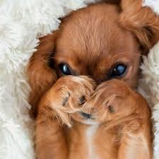 cute puppy chiens photo 43117552