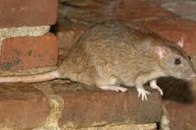 zelf ratten bestrijden