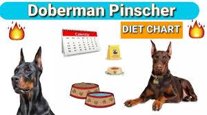Doberman Diet Plan In Hindi Doberman Pinscher Diet Chart