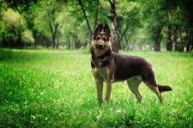 Puppy Weight Chart German Shepherd German Shepherds Weight And Height The Complete Guide And