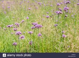 Tall Decorative Grass Tall Pink Verbena Growing In A Field Of Ornamental Grass Stock