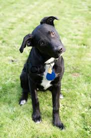 black labrador retriever. Interesting Retriever Young Black Labrador Retriever Mix Dog Cocks Head Sideways  Stock Photo  Colourbox In P