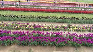 tulips in bloom at holland ridge farms in cream ridge nj