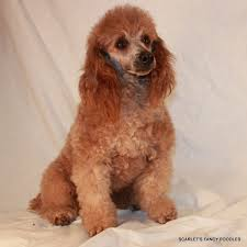 Adult mlae toy poodles for sale