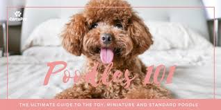 Poodle Puppy Weight Chart Poodles 101 The Ultimate Guide To The Toy Mini And
