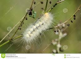 Light Yellow Fuzzy Caterpillar White Caterpillar Stock Photo Image Of Animal Hair 44507900