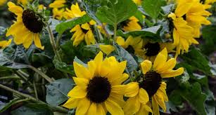 how to grow sunflowers a step by step