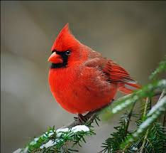 picture of red bird. Wonderful Red Geocache Description For Picture Of Red Bird I