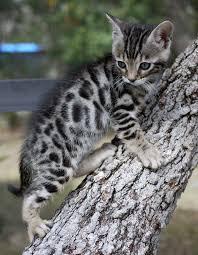 silver bangle kitten | Kitty silver Bengal #cat #kittens | kitty ...