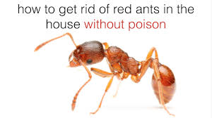Little Black Ants In Kitchen How To Get Rid Of Red Ants In The House Youtube