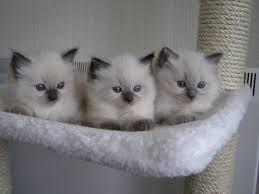 0 350 purebred ragdoll kittens singapore