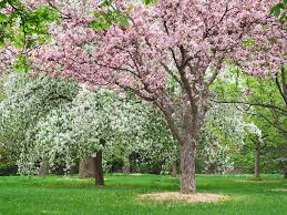 crabapples are great landscape trees for their small size attractive shapes beautiful spring flowers and colorful fall fruits