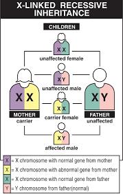 X Chromosome Inheritance Chart Duchenne Muscular Dystrophy Dmd Causes Inheritance