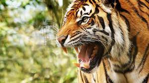 tiger wallpaper free desktop wallpapers ...