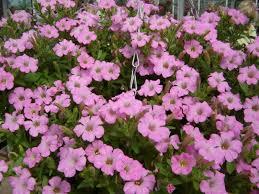 plant of the week petunia