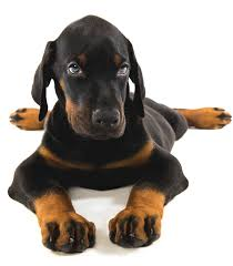 Best Food For Doberman Puppy Dogs